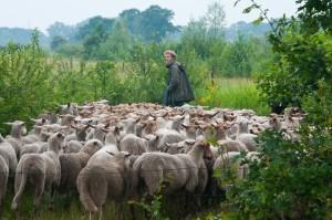 schapen kemp