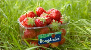 aardbeien hoogstraten