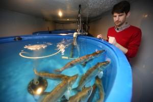 Jiri Bossuyt van Fish2be Jong bedrijf Fish2be verkoopt eerste lot van 30.000 jonge snoekbaars visjes 452909